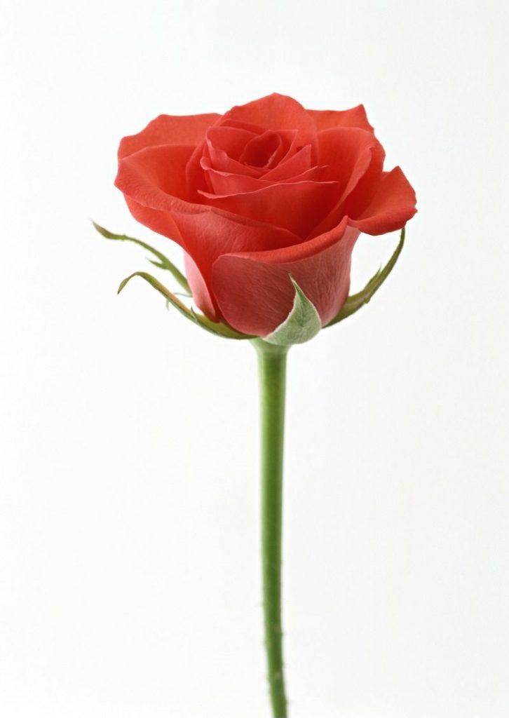 情人节的玫瑰绽开在教室里